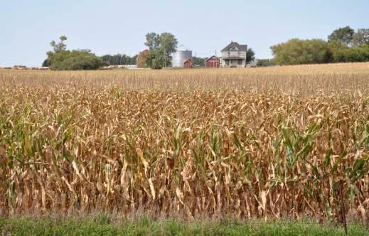 http://ksugrains.files.wordpress.com/2014/09/d0645-corn-sept.jpg?w=519&h=332